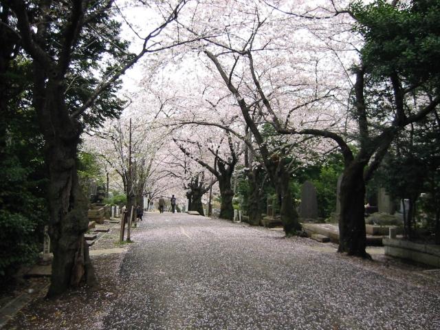 桜 サクラ写真素材
