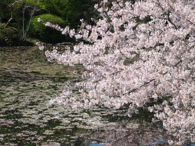 桜、サクラの写真素材写真素材