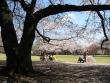 桜、サクラの無料素材